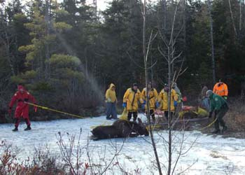 people rescuing a moose